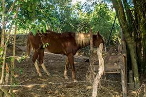 Cuba programas cortos Aroma de Puro Habano caballo