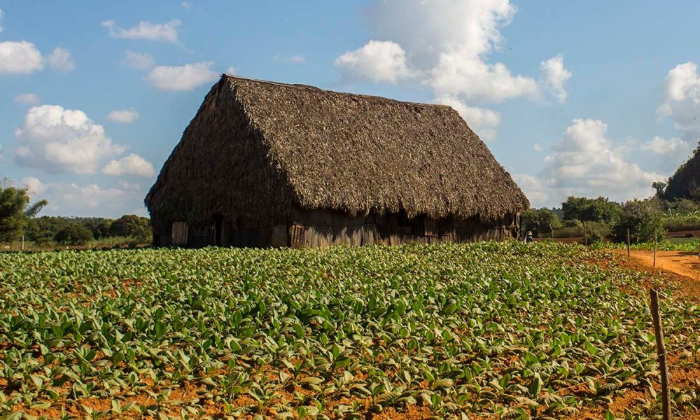 Cuba sites of interest Viñales Tabak plantation