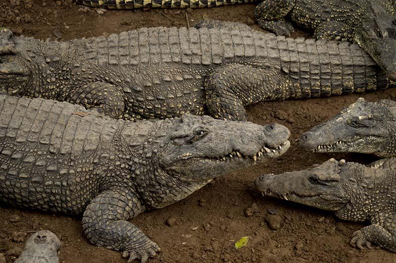 Cuba viajes programas cortos cocodrilos en Guama