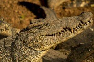 Cuba bezienswaardigheden Moron krokodil