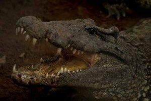 Cuba sitios de interés Playa Giron cocodrilo en Guama