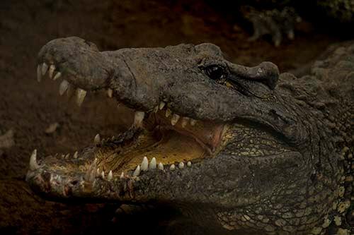 Cuba bezienswaardigheden Playa Giron Guama krokodil