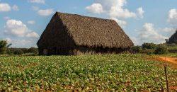 Cuba bezienswaardigheden Viñales Tabak plantage
